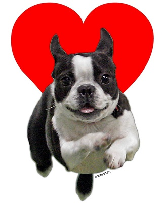 Boston Terriers are oh so so cute -  Luv. um !!!!!!!!