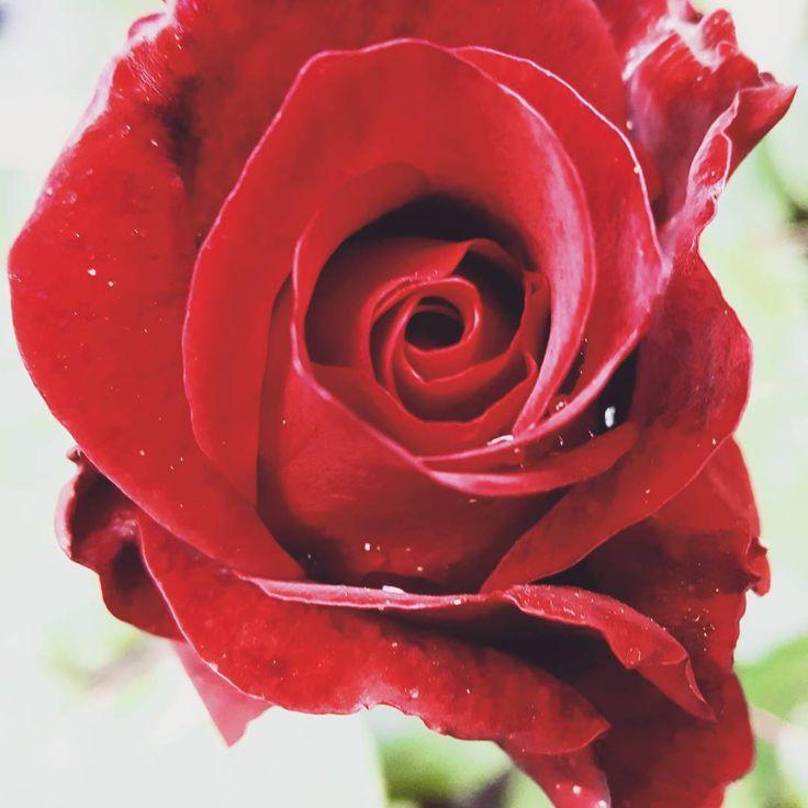 "1 aprecieri, 1 comentarii - Irina Tania (@irina.tania2004) pe Instagram: ""#beautiful #gourgeus #red #rose #redrose"""