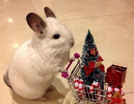 for a chinchilla pushing a cart full of Christmas goodies.
