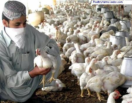 Poultry Forms In Faisalabad. Merely declared, poultry farming is the commotion of raising fowl for animal red or white meat, eggs or feathers, and this could be made for commercial rationale or for sp...