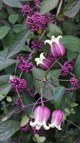 Vasevine - Clematis viorna w/ Beautyberry - Callicarpa americana