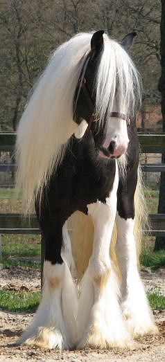 Gypsy Vanner Horse   These horses are gorgeous!