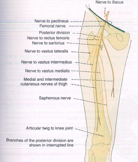 medial and intermediate femoral cutaneous nerves