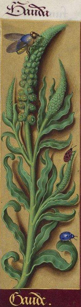 Gaude- Gauda (Reseda luteola L. = gaude, herbe pour teindre en jaune) -- Grandes Heures d'Anne de Bretagne, BNF, Ms Latin 9474, 1503-1508, f°154v