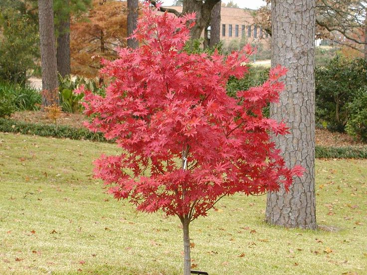 Going to plant this directly in front of our dining room bay window  - Japanese Maple