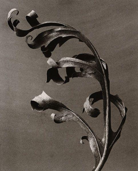 karl blossfeldt fine art photography