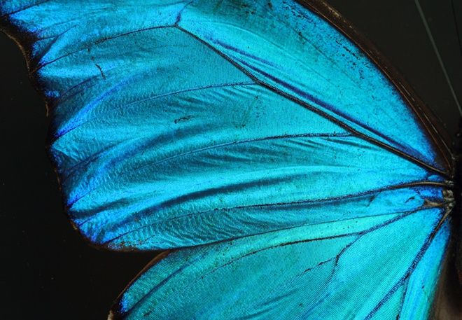 Tiny layers in the wing scales of blue morpho butterflies reflect light at multiple angles, leading to the interference patterns we see as iridescence.