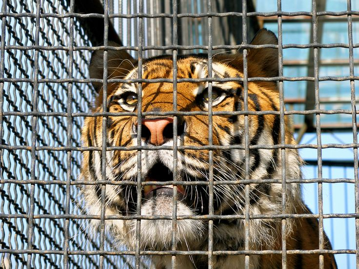 Thousands of Big Cats Are Suffering in Inhumane Roadside