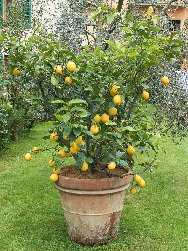 Der Zitrusbaum liebt einen vollsonnigen Standort. Ein wind- und regengeschützter Platz im Garten oder auf der Terrasse ist ideal.