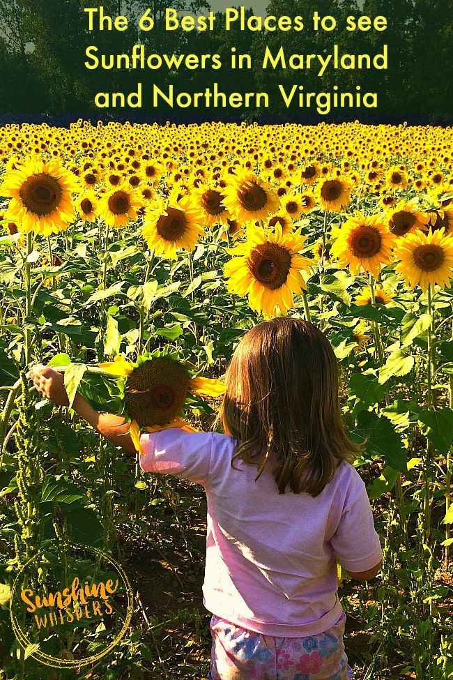 The 6 Best Places to see Sunflowers in Maryland and Northern Virginia - Sunshine Whispers