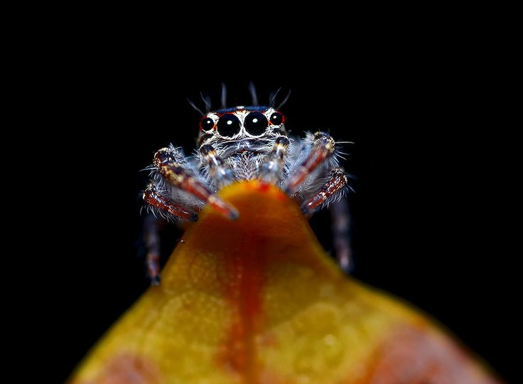 ..Jumping Spider..