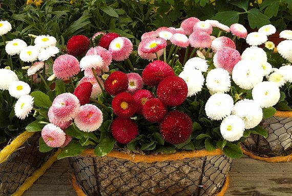 Heirloom 2000 SEEDS MIXED English Daisy Monstrosa Corsican Bellis Perennis Flower S023, $1.79
