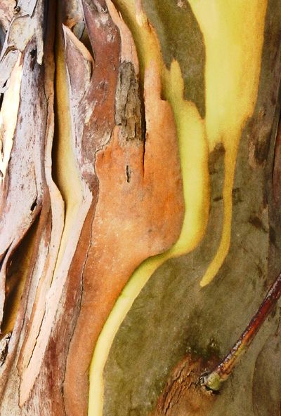 eucalyptus bark - Google Search