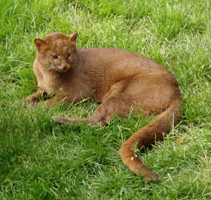 The Gulf Coast Jaguarundi are an extremely rare species of cat, found only in specific parts of Northern America – in the Western Gulf coastal grasslands of southern United States and Northwestern Mexico. These highly endangered weasel-like wild cats are on the brink of extinction, as more and more of their natural habitat is destroyed.
