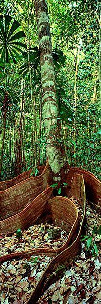 Rainforest, Daintree, - Ken Duncan Panographs