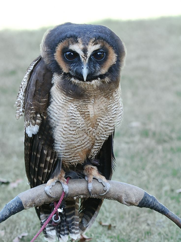 malaysian wood owls | Asian Brown Wood Owl - Mowgli - Fly Birds of Prey