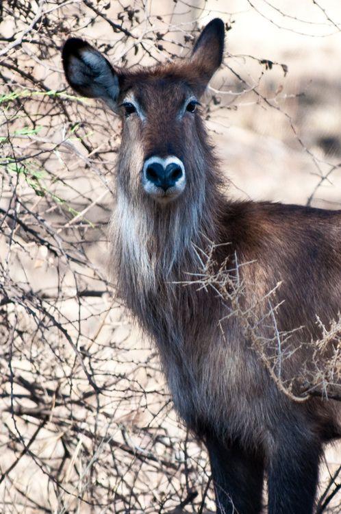 Waterbuck, Serengetti, Tanzania...heart shaped nose!