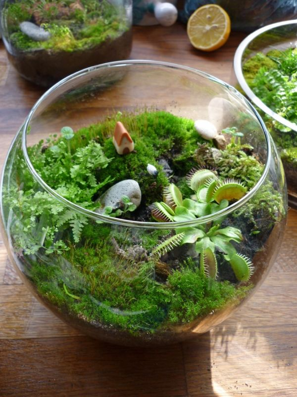 17 best images about plantes carnivores on pinterest tropical pitchers minis and culture. Black Bedroom Furniture Sets. Home Design Ideas