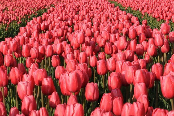 Flickr | Pink tulips | Mariska Kuipers