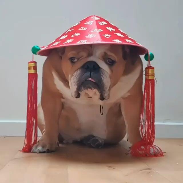 Monkoodog Smartdog Bulldog Bulldoglove Englishbulldogmoments