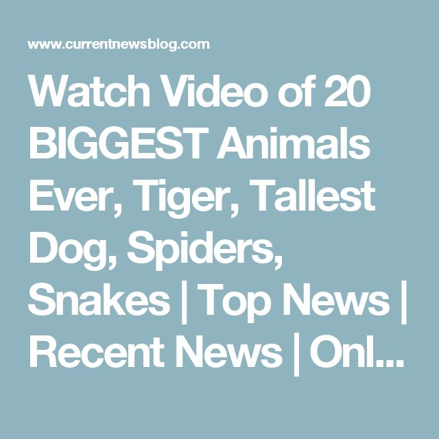 Watch Video of 20 BIGGEST Animals Ever, Tiger, Tallest Dog, Spiders, Snakes | Top News | Recent News | Online News | News Today | Headline News