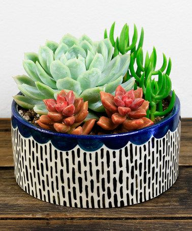 Love this Scalloped Navy Potted Succulent on #zulily! #zulilyfinds