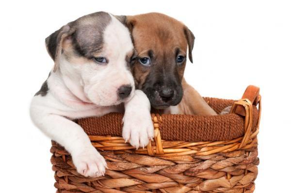 Nombres para perros pitbull - ExpertoAnimal