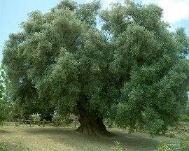 Olivo di Canneto - Fara in Sabina (RI)