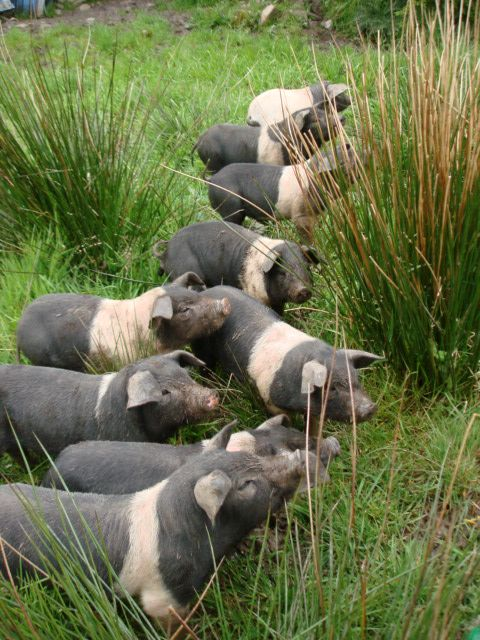 Raising And Butchering Weaner Pigs For Your Family - http://www.ecosnippets.com/livestock-animals/raising-and-butchering-weaner-pigs-for-your-family/