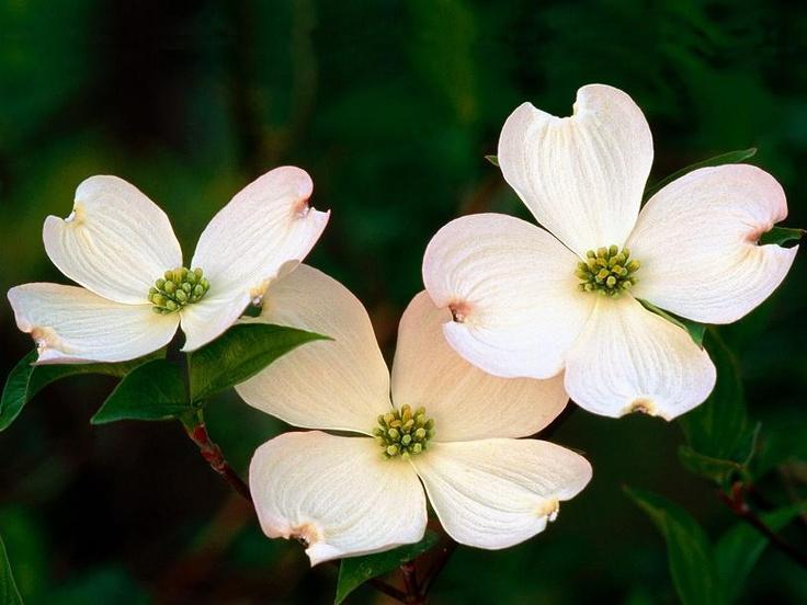 British Columbia's Provincial Flower - Dogwood