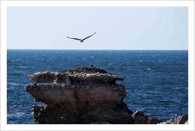Sea Eagle coming into land Kangaroo Island