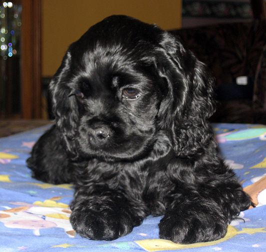 Image result for images of black cocker spaniel puppies