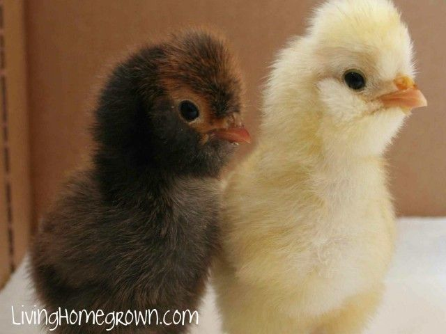 Backyard Chickens – 8 Lessons Learned