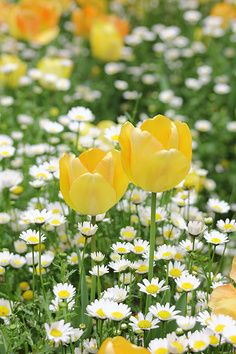 ♥daisies and tulips!!