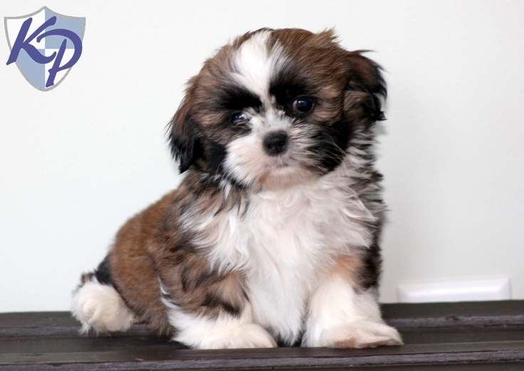 shih tzu puppies in pa 17 best images about shih tzu puppies on pinterest duke 6885
