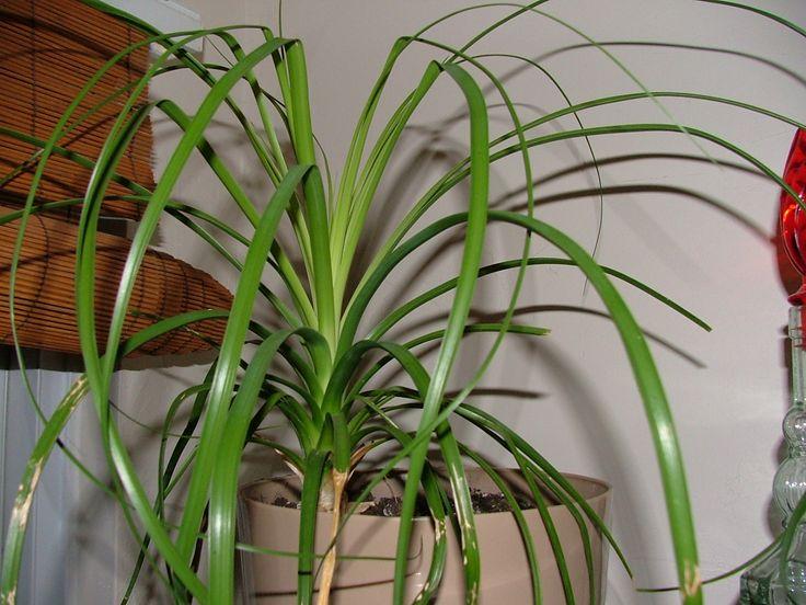 caaed65d0d772f1242534b7f70ad17b4 Palm Trees House Plant Identification on ivy house plant identification, bamboo house plant identification, tropical house plant identification,