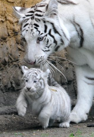 Momma And Baby White Tigers