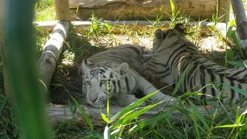 Белые тигры на Азовском побережье - http://zoovestnik.ru/2013/07/14924/