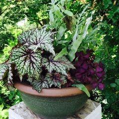 Rex Begonia container garden
