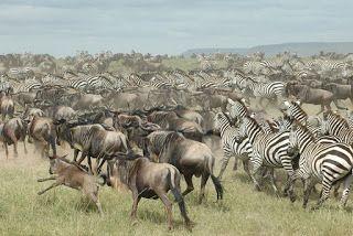 AMAZING KENYA SAFARIS: 4 DAYS FABULOUS FLAMINGOES AND WILDEBEEST MIGRATIO...