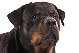 Image result for pictures of rottweiler dogs