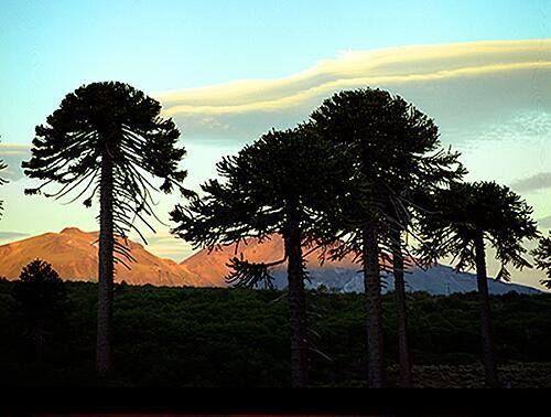 Sitio Oficial de Turismo de Neuquén Pehuenes en cercanías de Villa Pehuenia.