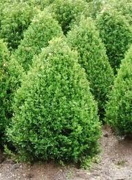 Green Mountain Boxwood:  5 feet tall, 3 feet wide, bright green foliage, cone shaped form.