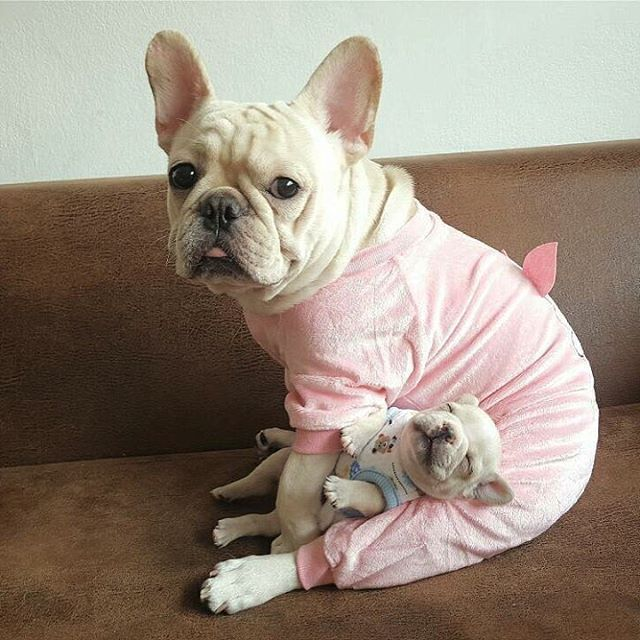 Pin By Annie Butler On French Bulldogs And Frenchton S Cute Baby Animals Puppies Baby Animals