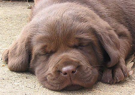 Chocolate Lab puppy, nothin' cuter.