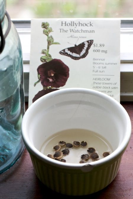 Hollyhock seed need light to germinate. See this person's tip on starting them in a dish of water.