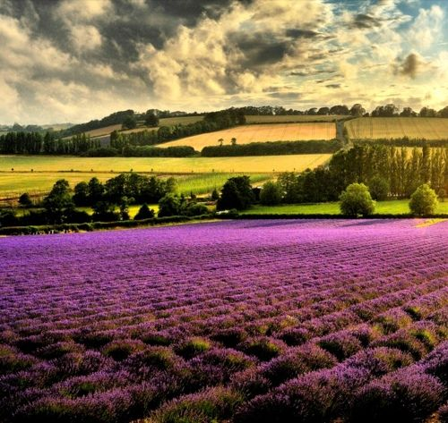 english lavender fields..