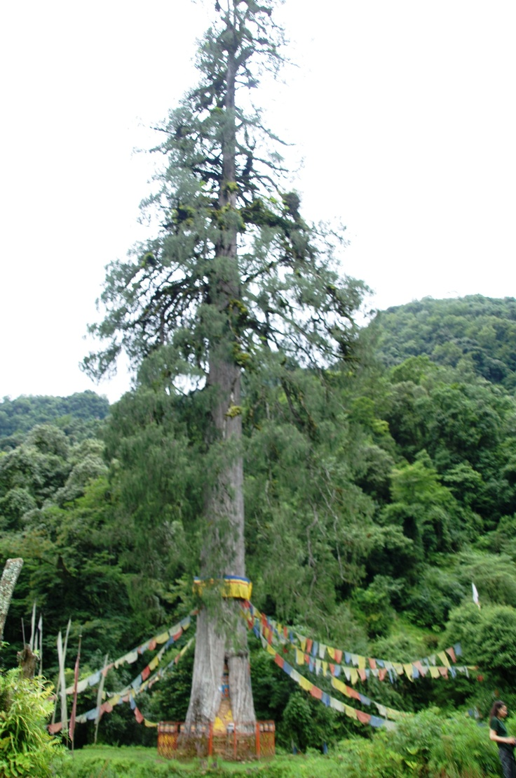 Bhutan...National tree; Cypress