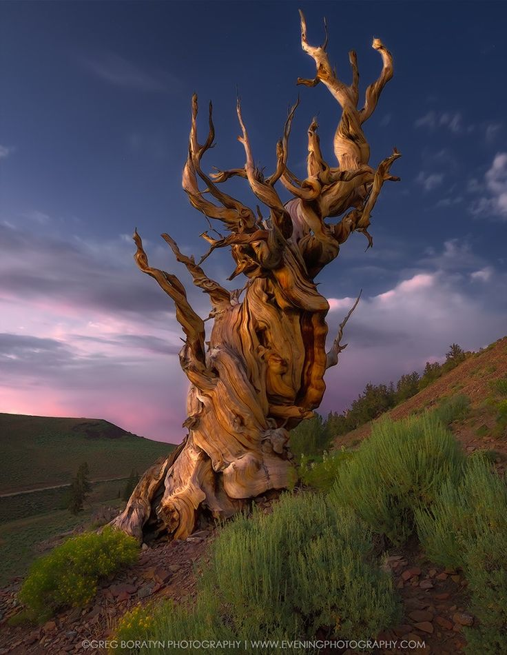 The Bristlecone - Just another shot of the Bristlecone Pine tree, White Mountains, CA.