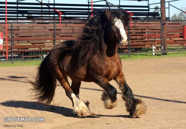 Gypsy Vanner Stallion   Bay   Rocky  Rocky is a son of the legendary palomino stallion, Romeo aka Clonoeen Mull of Kintyre. His dam is the gorgeous bay mare, Coco Chanel, imported by Gypsy MVP. Rocky is a picture of the Gypsy Vanner standards.  #GypsyVannerHorses